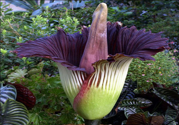 Titan Arum- the largest flower in the world.  A single leaf can reach up to 75 feet!  Smells like rotting flesh, too!